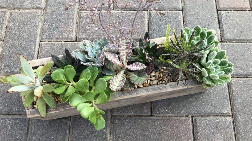 succulent (7)