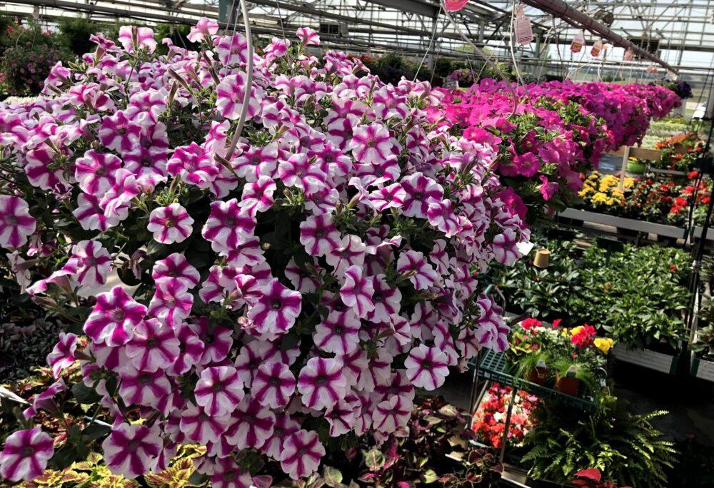 hanging baskets greenhouse